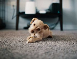 Dog laying on carpet in living room
